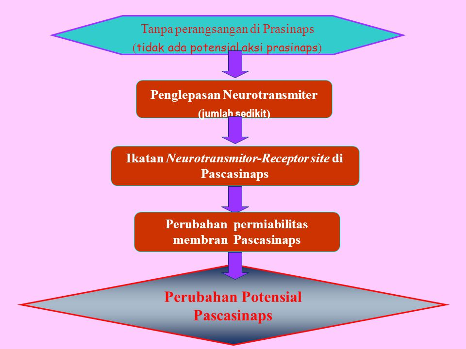 Tanpa perangsangan di Prasinaps ( tidak ada potensial aksi prasinaps ) Penglepasan Neurotransmiter ( jumlah sedikit ) Ikatan Neurotransmitor-Receptor