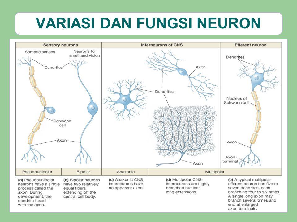 NEURON2 EFEREN OTONOM 1.SSP 2. Neuron preganglion 3.