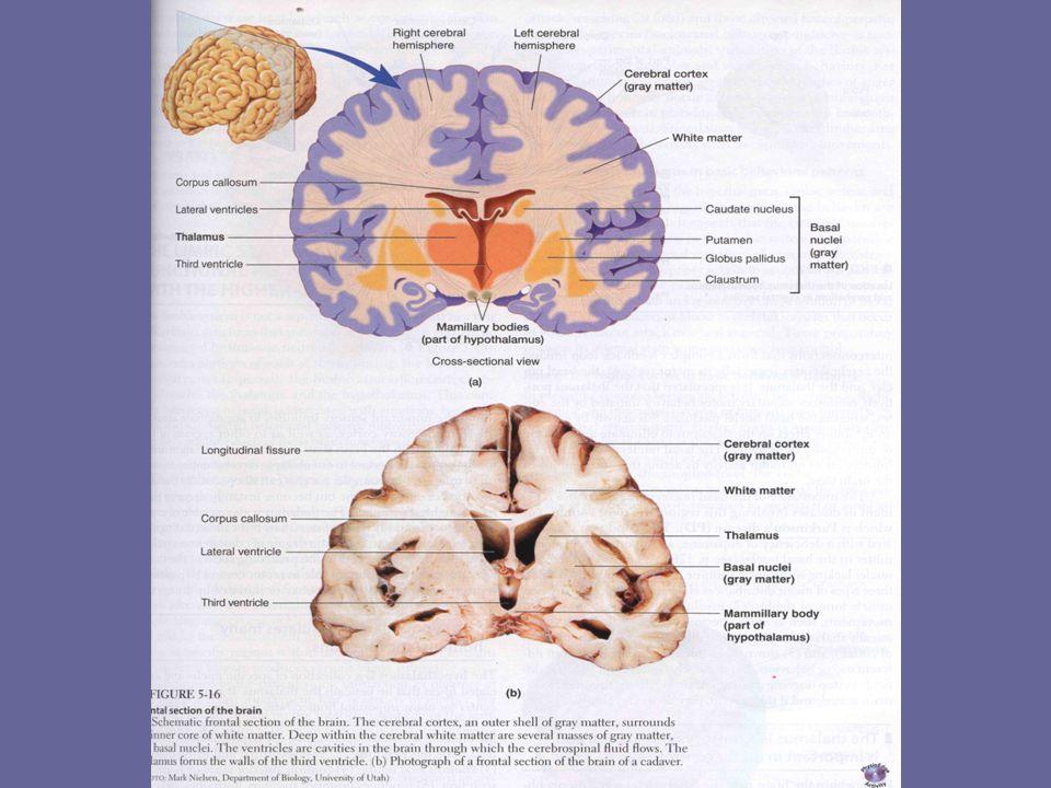 SEREBRUM Merupakan bagian terbesar dari otak, dan mengisi hampir seluruh rongga kranial.