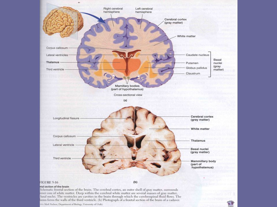 KATA KUNCI Komunikasi melalui saraf Integrasi Analisis informasi Pengendalian kegiatan tubuh
