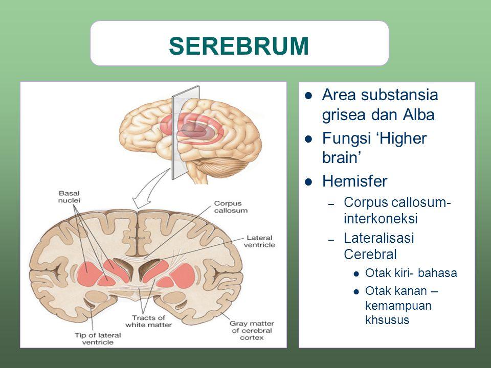 SEREBRUM Area substansia grisea dan Alba Fungsi 'Higher brain' Hemisfer – Corpus callosum- interkoneksi – Lateralisasi Cerebral Otak kiri- bahasa Otak