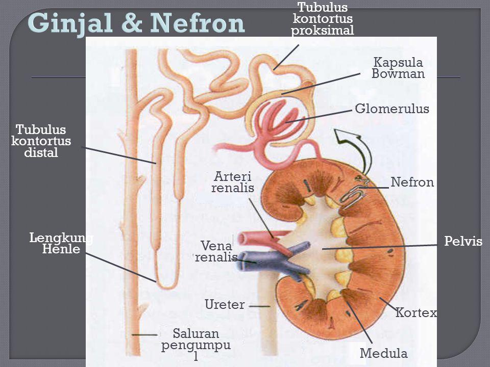 Tubulus kontortus distal Tubulus kontortus proksimal Lengkung Henle Saluran pengumpu l Ureter Medula Kortex Nefron Arteri renalis Vena renalis Glomeru