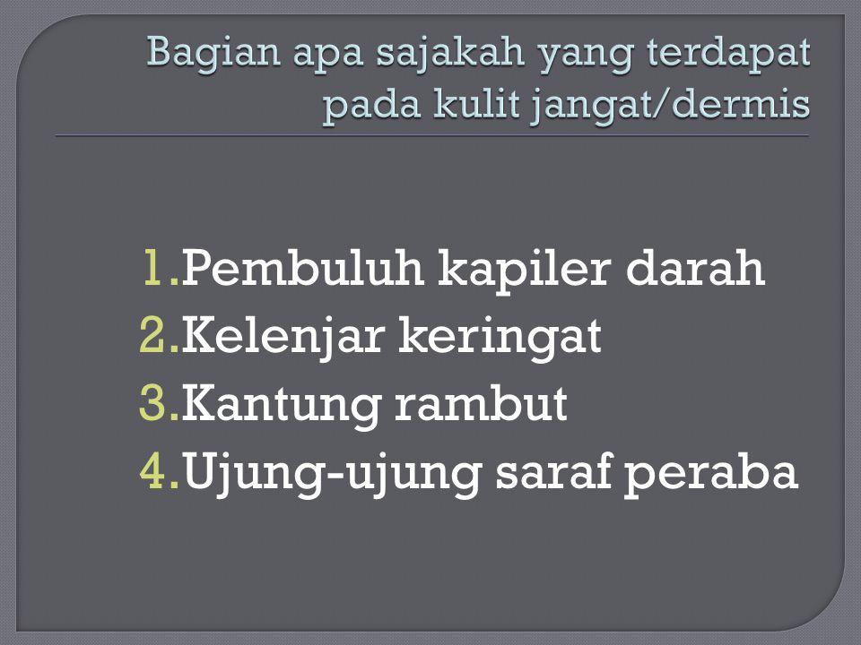 1.Pembuluh kapiler darah 2.Kelenjar keringat 3.Kantung rambut 4.Ujung-ujung saraf peraba