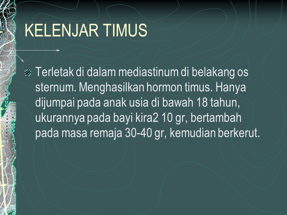 KELENJAR TIMUS Terletak di dalam mediastinum di belakang os sternum.