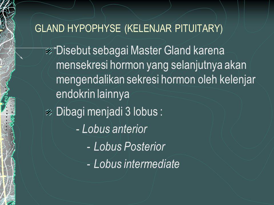 GLAND HYPOPHYSE (KELENJAR PITUITARY) Disebut sebagai Master Gland karena mensekresi hormon yang selanjutnya akan mengendalikan sekresi hormon oleh kelenjar endokrin lainnya Dibagi menjadi 3 lobus : - Lobus anterior - Lobus Posterior - Lobus intermediate