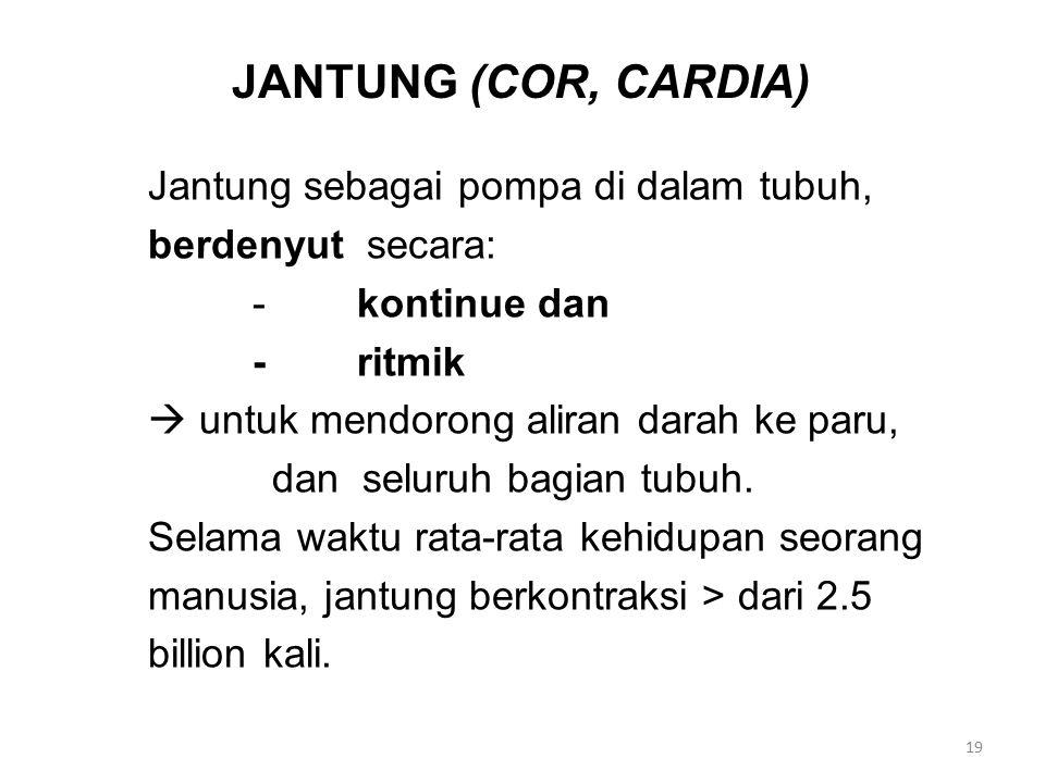 JANTUNG (COR, CARDIA) Jantung sebagai pompa di dalam tubuh, berdenyut secara: -kontinue dan -ritmik  untuk mendorong aliran darah ke paru, dan seluruh bagian tubuh.