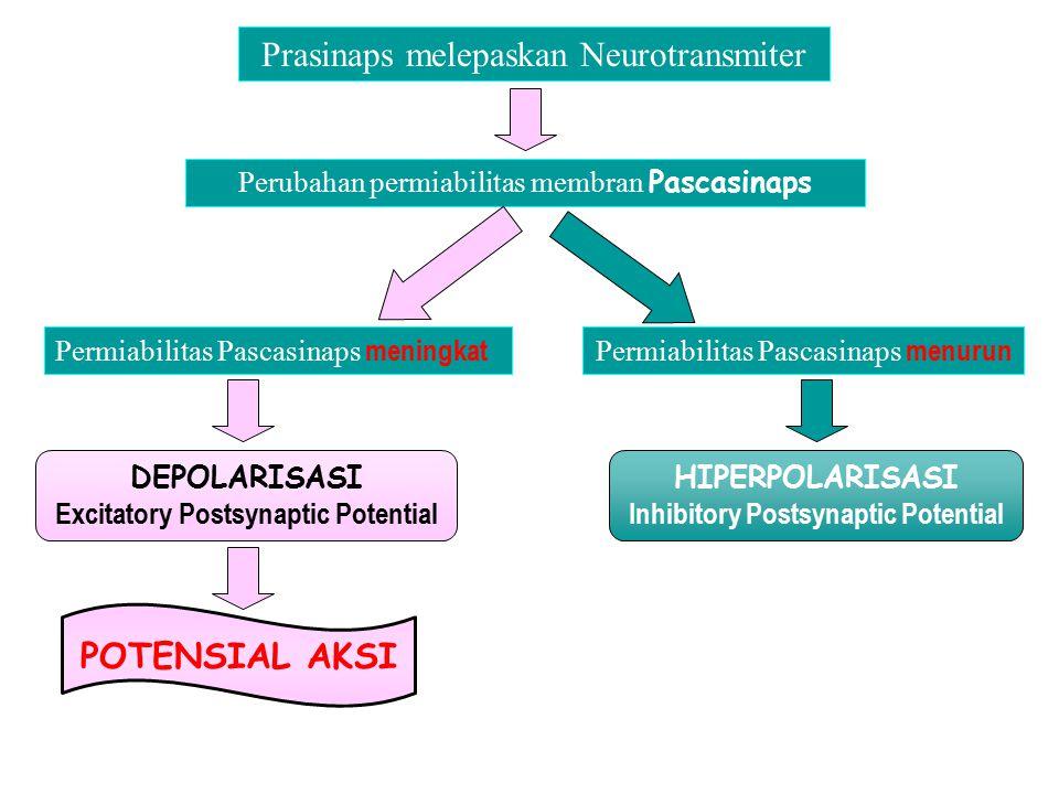 Prasinaps melepaskan Neurotransmiter Perubahan permiabilitas membran Pascasinaps Permiabilitas Pascasinaps menurun HIPERPOLARISASI Inhibitory Postsyna
