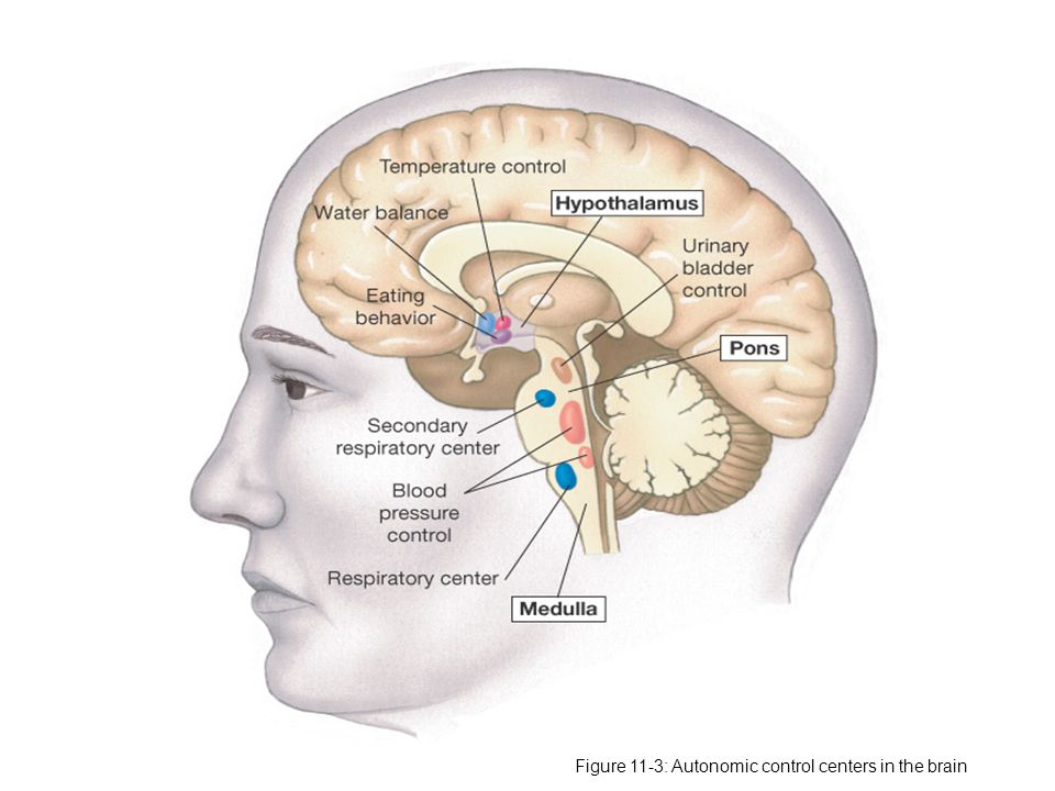 Figure 11-3: Autonomic control centers in the brain