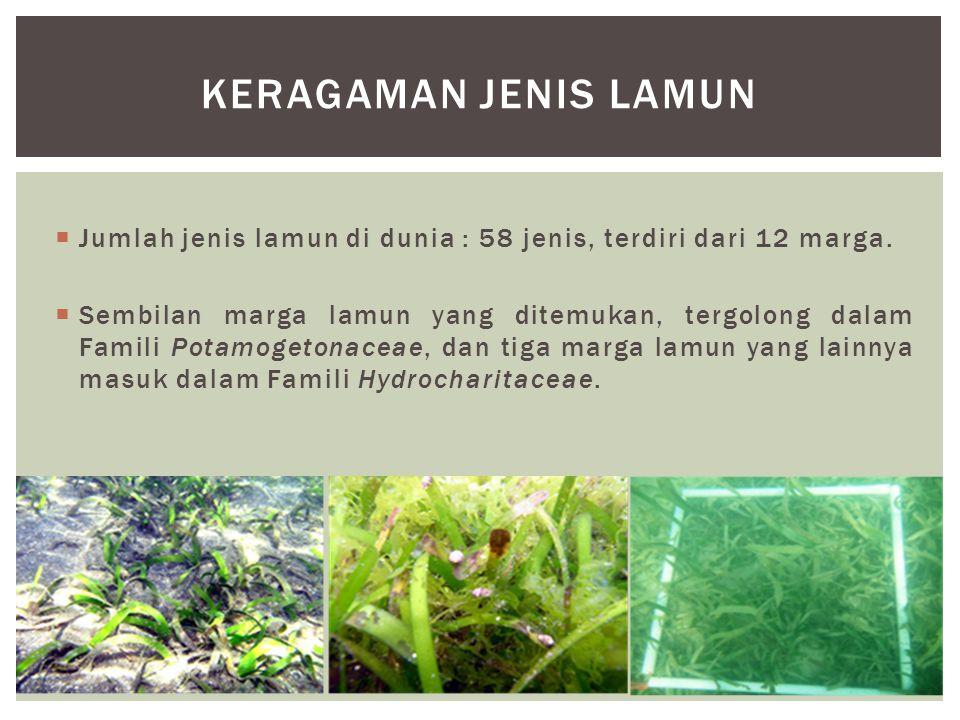  Jumlah jenis lamun di dunia : 58 jenis, terdiri dari 12 marga.