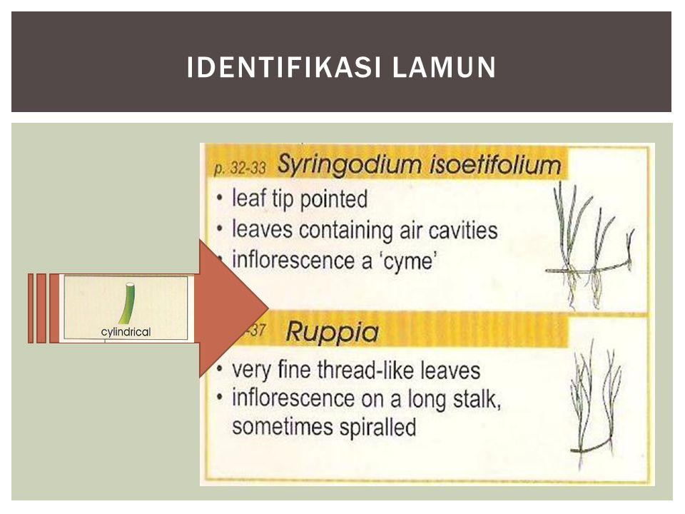 IDENTIFIKASI LAMUN