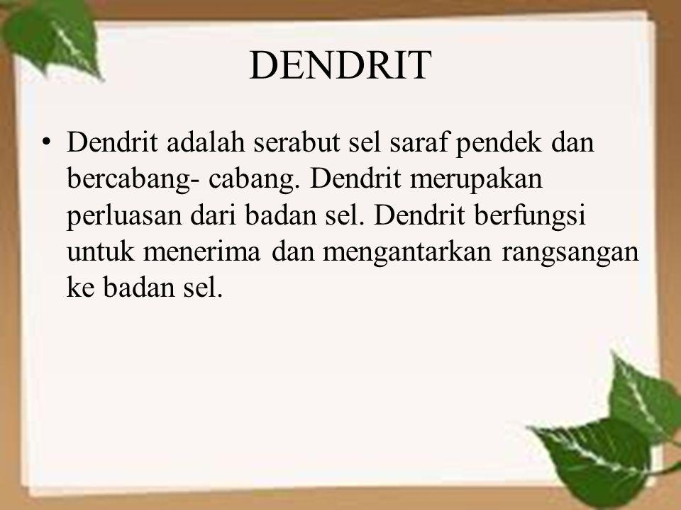 DENDRIT Dendrit adalah serabut sel saraf pendek dan bercabang- cabang. Dendrit merupakan perluasan dari badan sel. Dendrit berfungsi untuk menerima da