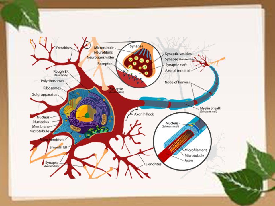 BERDASARKAN STRUKTUR DAN FUNGSINYA, SEL SARAF DAPAT DIBAGI MENJADI 3 MACAM 1.sel saraf sensori, 2.sel saraf motorik, dan 3.sel saraf intermediet (asosiasi).