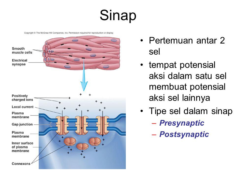 Pertemuan antar 2 sel tempat potensial aksi dalam satu sel membuat potensial aksi sel lainnya Tipe sel dalam sinap –Presynaptic –Postsynaptic