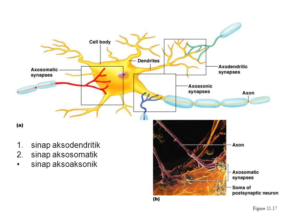 Synapses Figure 11.17 1.sinap aksodendritik 2.sinap aksosomatik sinap aksoaksonik
