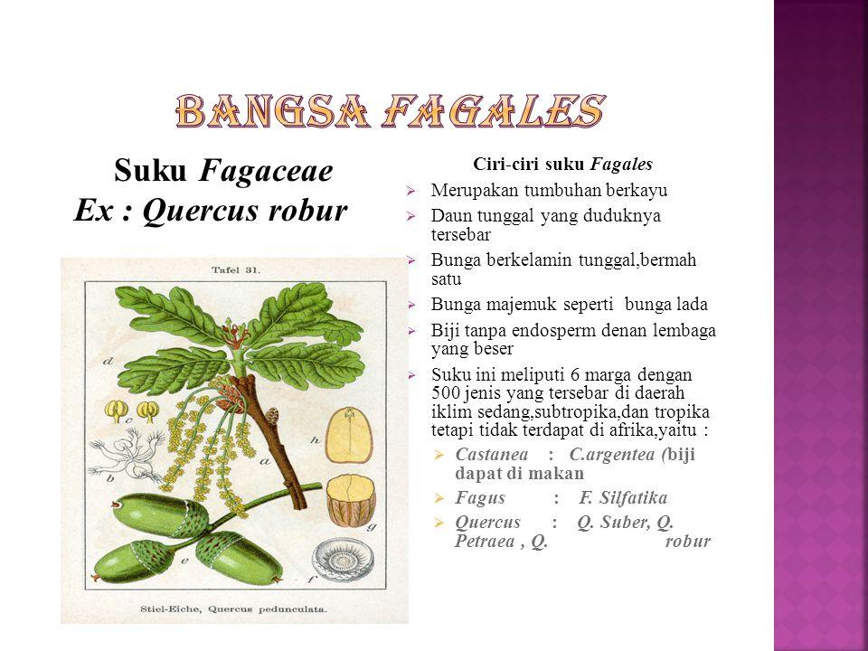 Suku betulaceae Ex : betula pendula Ciri-ciri Suku betulaceae  Tumbuhan berupa pohon atau perdu  Daun tunggal yang tersebar  Bunga berkelamin tungg