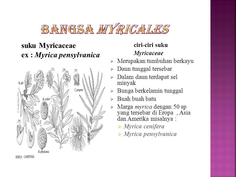 Bangsa ini hanya terdiri dari satu suku yaitu Myrcaceae.