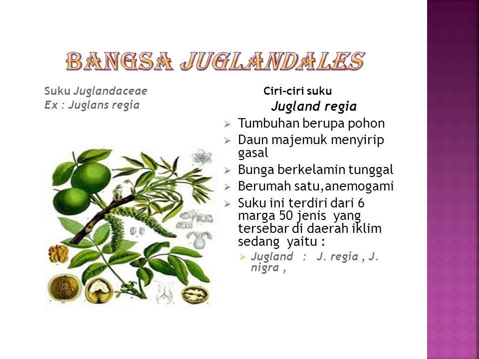  Tumbuhan berupa pohon,daun menyirip gasal yang duduknya tersebar,bunga berkelamin tunggal,berumah satu,bakal buah tenggelam,dan buah semu,biji tanpa endosperm,dan hanya mempunyai satu suku yaitu:  Suku Juglandales