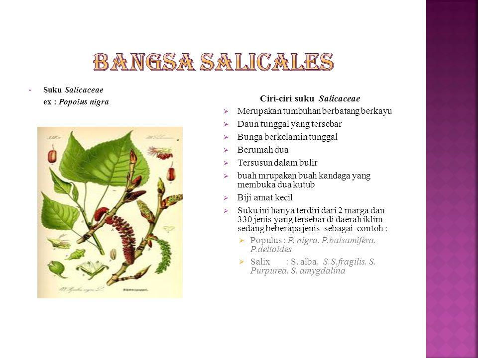 Bangsa ini hanya terdiri dari satu suku yaitu suku salicaceae.