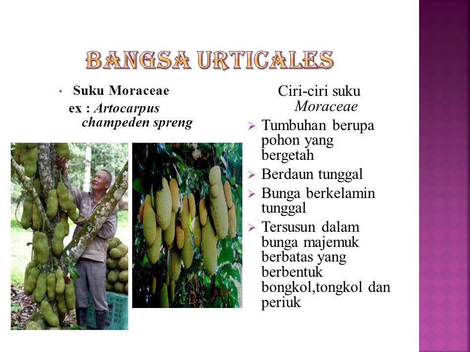  Merupakan tumbugan terna,semak maupun pohon  Daun tunggal  Bunga bekelamin tunggal  Buahnya buah keras atau buah batu  Bangsa ini meliputi  Suku Moraceae  Suku Cannabinaceae  Suku Ulmaceae  Suku Urticaceae