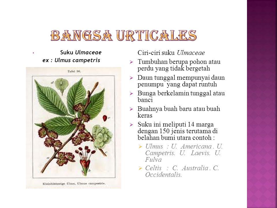 Suku Cannabiaceae ex : Humulus lupulus Ciri-ciri suku Cannabiaceae  Merupakan tumbuhan terna  Daun tunggal bertoreh menjari,duduk tersebar atau berhadapan  Bunga berkelmin tunggal  Berumah dua  Tersusun dalam bunga majemuk berbatas yang menyerupai tandan,bongkol atau bunga lada  Buanya merupakan buah keras yang mempunyai lembaga yang bengkok atau tergulung  Suku ini hanya meliputi 3 jenis yang terbagi dalam 2marga yaitu :  Humulus : H.
