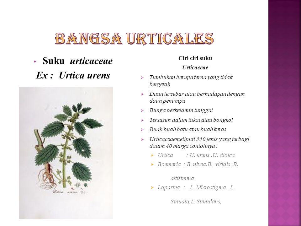 Suku Ulmaceae ex : Ulmus campetris Ciri-ciri suku Ulmaceae  Tumbuhan berupa pohon atau perdu yang tidak bergetah  Daun tunggal mempunyai daun penump