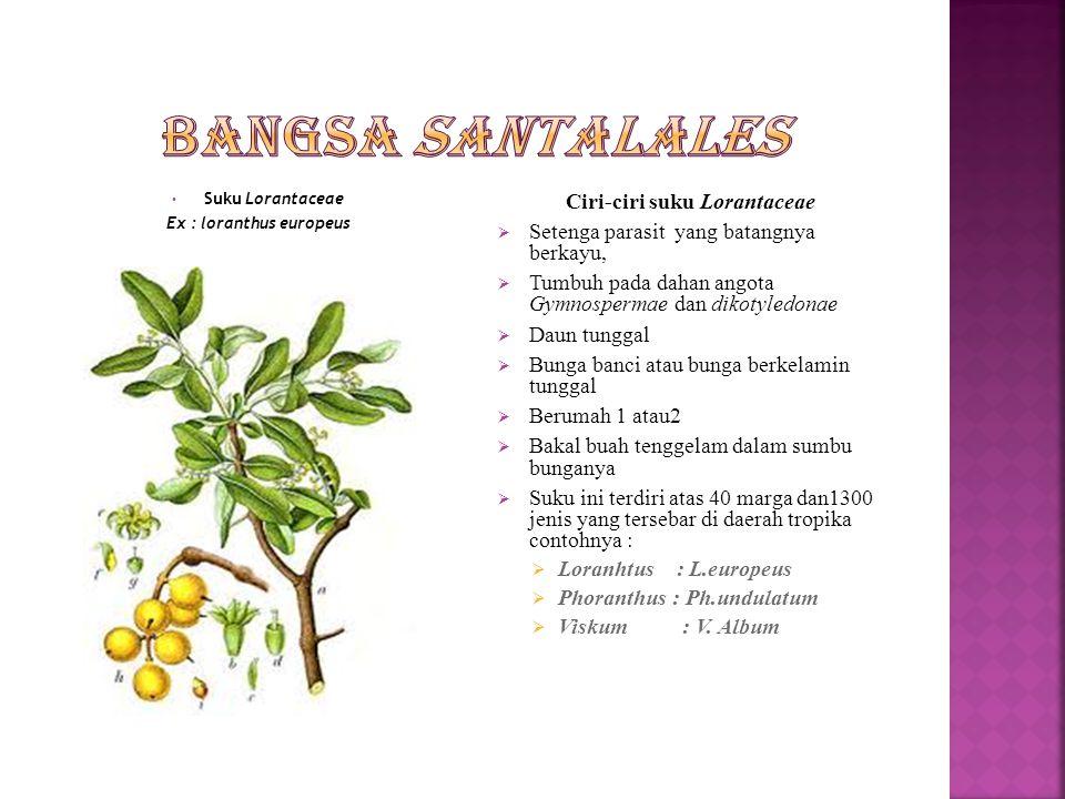Suku Santalaceae Ex : Santalum album Ciri-ciri suku Santalaceae  Tumbuhan berupa perdu atau pohon,setengah parasit  Daun tunggal tersebar atau berha