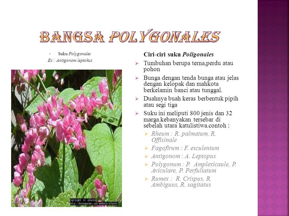 Bangsa ini hanya terdiri dari 1 suku yaitu Polygonales.
