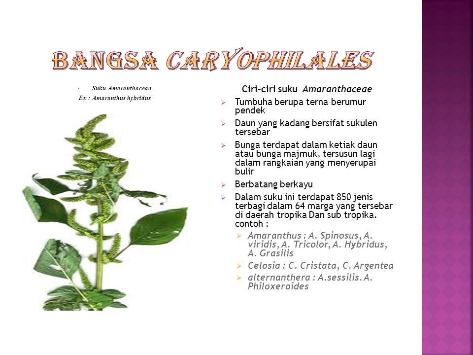 Suku chenopodiaceae Ex : Arthrocnemum glaucum Ciri-ciri suku Chenopodiaceae  Merupakan tumbuhan terna  Daun tunggal yang duduknya tersebar  Bunga kecil kehijau-hijauan tersusun dalan bunga majmuk  Bunga banci atau berkelamin tunggal  Buahnya buah yang keras  Suku ini adalah suatu suku yang besar meliputi 1400 jenis yang terbagi dalam 100 marga yang tersebar di seluruh muka bumi