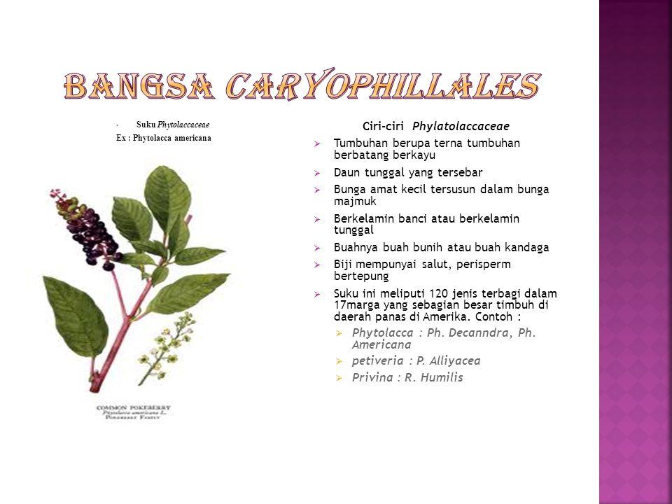 Suku Amaranthaceae Ex : Amaranthus hybridus Ciri-ciri suku Amaranthaceae  Tumbuha berupa terna berumur pendek  Daun yang kadang bersifat sukulen tersebar  Bunga terdapat dalam ketiak daun atau bunga majmuk, tersusun lagi dalam rangkaian yang menyerupai bulir  Berbatang berkayu  Dalam suku ini terdapat 850 jenis terbagi dalam 64 marga yang tersebar di daerah tropika Dan sub tropika.