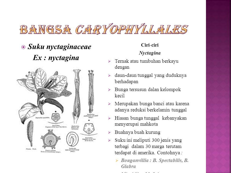 Suku Phytolaccaceae Ex : Phytolacca americana Ciri-ciri Phylatolaccaceae  Tumbuhan berupa terna tumbuhan berbatang berkayu  Daun tunggal yang tersebar  Bunga amat kecil tersusun dalam bunga majmuk  Berkelamin banci atau berkelamin tunggal  Buahnya buah bunih atau buah kandaga  Biji mempunyai salut, perisperm bertepung  Suku ini meliputi 120 jenis terbagi dalam 17marga yang sebagian besar timbuh di daerah panas di Amerika.