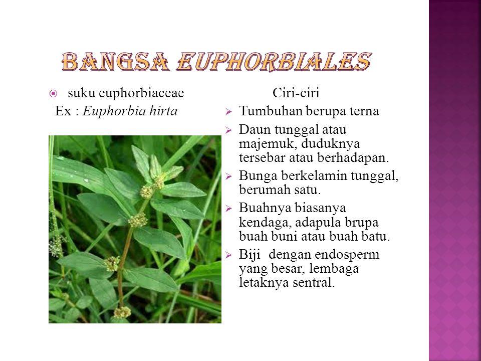  Merupakan tumbuhan terna  Daun tunggal atau majemuk  Duduk daun tersebar atau berhadapan  Hiasan bunga yang tunggal jarang terdapat kelopak dan m