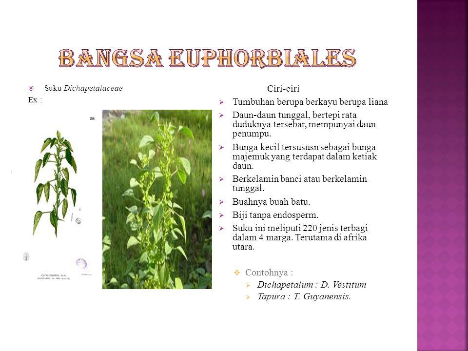  suku euphorbiaceae Ex : Euphorbia hirta Ciri-ciri  Tumbuhan berupa terna  Daun tunggal atau majemuk, duduknya tersebar atau berhadapan.  Bunga be