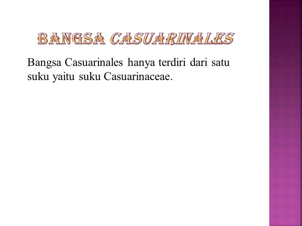 Bangsa Casuarinales hanya terdiri dari satu suku yaitu suku Casuarinaceae.