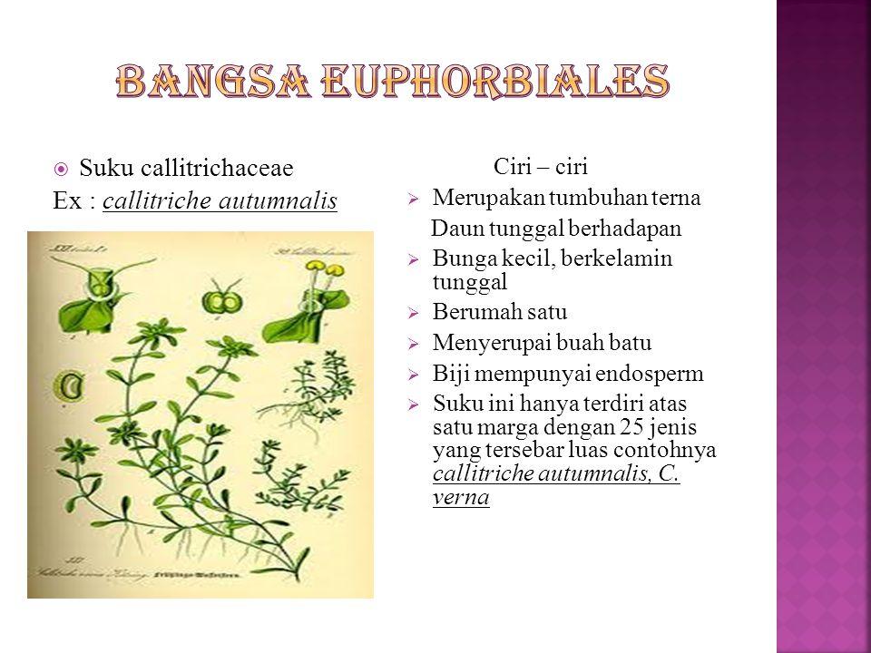  Suku buxaceae Ex : Buxus sempervirens Ciri – ciri  Merupakan tumbuhan berkayu  Daun – daun bertepi rata yang duduknya tersebar atau berhadapan  Bunga dalam ketiak daun berupa bulir atau bongkol  Berkelamin tunggal  Buahnya buah kendaga atau buah batu  Biji dengan endosperm  Ada 30 jenis dengan 6 marga, terutama tersebar di daerah sub tropika dan daerah iklim  Contohnya :  Buxus : B.