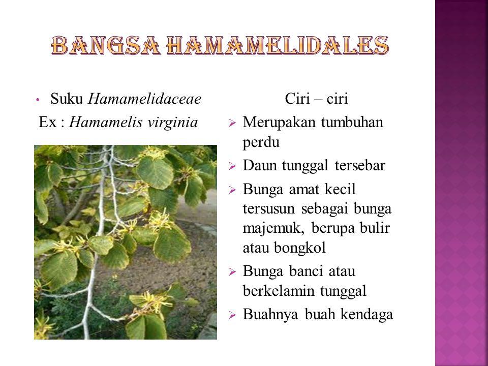  Ciri – cirinya  Tumbuhan berkayu  Daun tunggal yang duduknya tersebar atau berhadapan  Bunga banci atau berkelamin tunggal  Dan mempunyai 2 suku : Suku Hamamelidaceae Suku Platanaceae