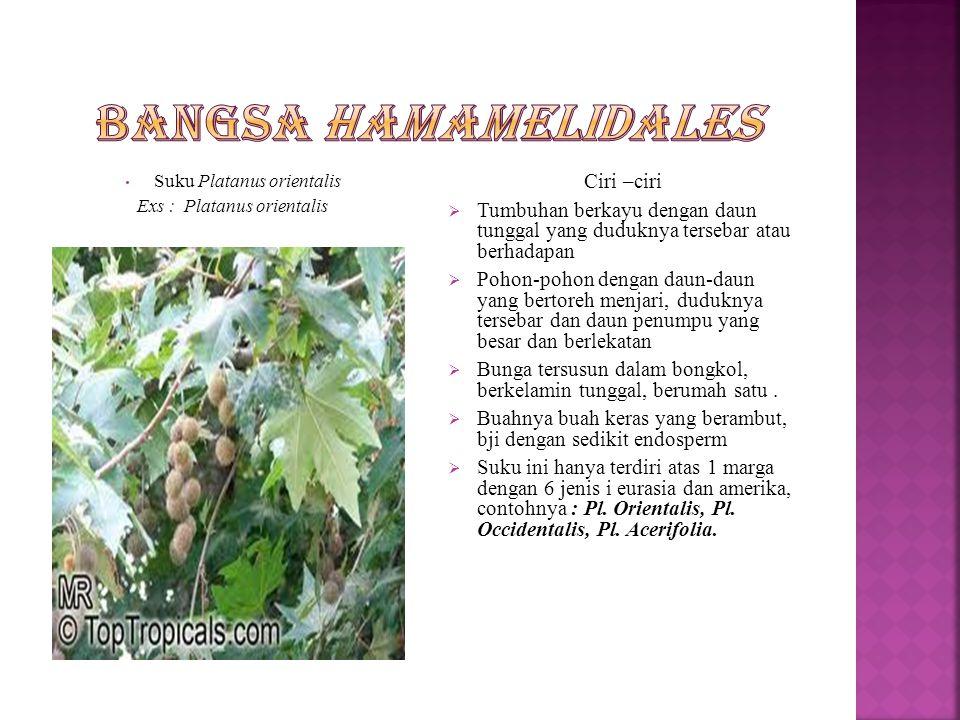 Suku Hamamelidaceae Ex : Hamamelis virginia Ciri – ciri  Merupakan tumbuhan perdu  Daun tunggal tersebar  Bunga amat kecil tersusun sebagai bunga majemuk, berupa bulir atau bongkol  Bunga banci atau berkelamin tunggal  Buahnya buah kendaga