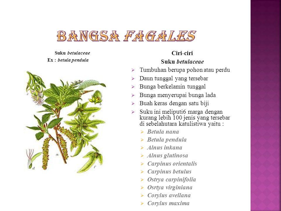 Suku betulaceae Ex : betula pendula Ciri-ciri Suku betulaceae  Tumbuhan berupa pohon atau perdu  Daun tunggal yang tersebar  Bunga berkelamin tunggal  Bunga menyerupai bunga lada  Buah keras dengan satu biji  Suku ini meliputi6 marga dengan kurang lebih 100 jenis yang tersebar di sebelahutara katulistiwa yaitu :  Betula nana  Betula pendula  Alnus inkana  Alnus glutinosa  Carpinus orientalis  Carpinus betulus  Ostrya carpinifolia  Osrtya virginiana  Corylus avellana  Corylus maxima