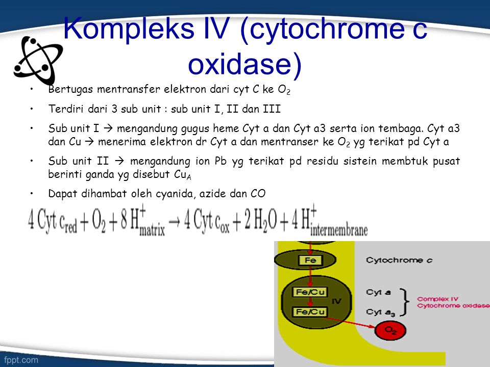 Kompleks IV (cytochrome c oxidase) Bertugas mentransfer elektron dari cyt C ke O 2 Terdiri dari 3 sub unit : sub unit I, II dan III Sub unit I  menga