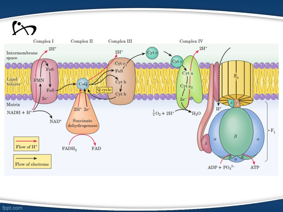 Fosforilasi oksidatif merupakan proses pembentukan ATP akibat transfer elektron dari NADH atau FADH 2 ke O 2 melalui serangkaian pengemban elektron.