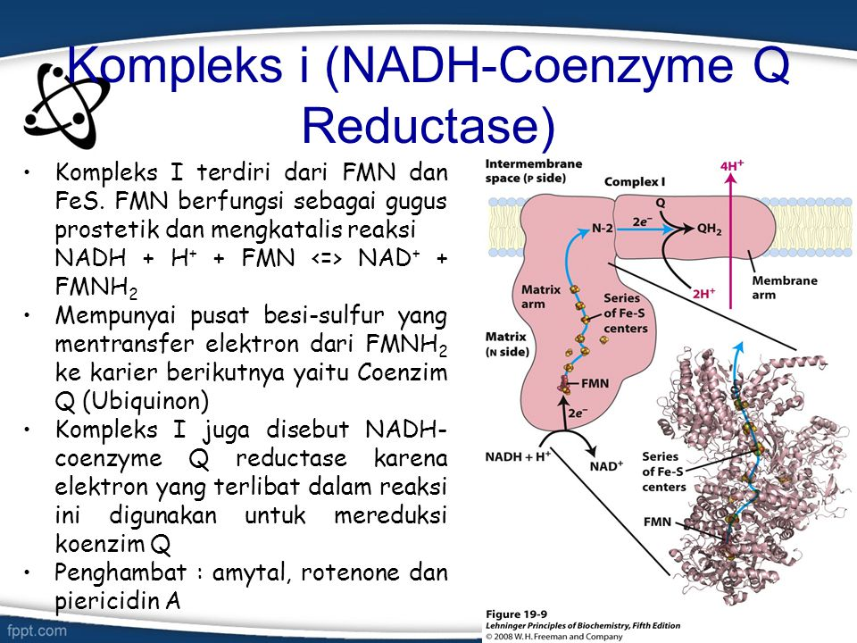 Kompleks iI (Suksinat- koenzim q reduktase) Merupakan enzim TCA yang terikat pada membran Merupakan titik masuknya FADH 2 yang diproduksi oleh suksinat dehidrogenase Elektron dari FADH 2 akan didonorkan ke ubiquinone Mempunyai pusat Fe-S