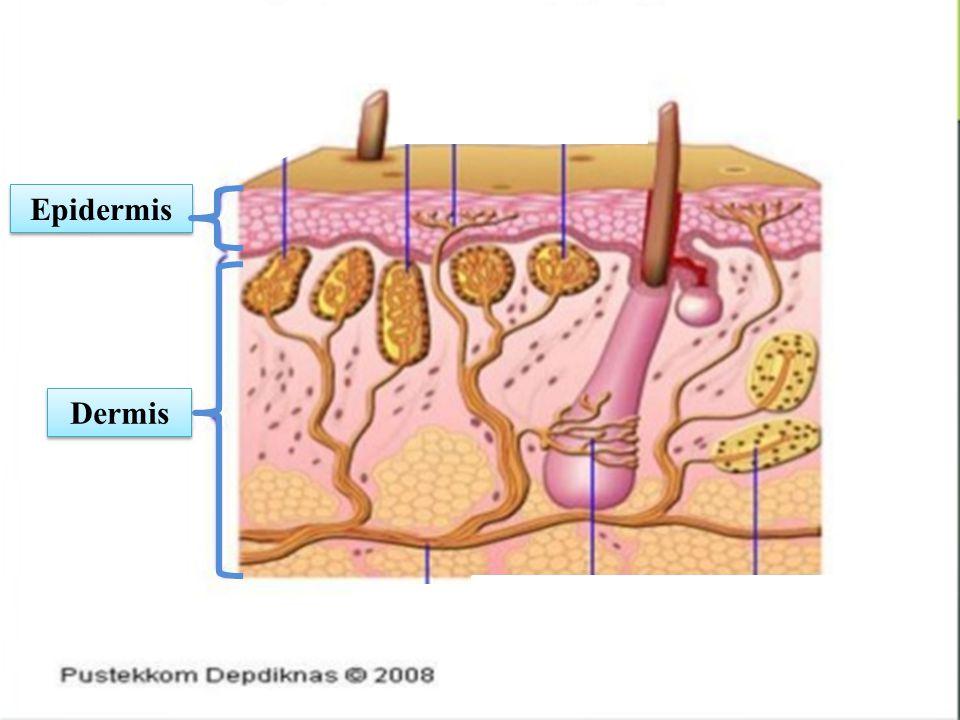 Epidermis Dermis c c cc c c c c
