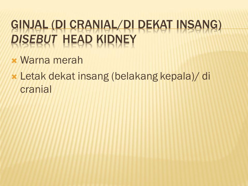  Warna merah  Letak dekat insang (belakang kepala)/ di cranial