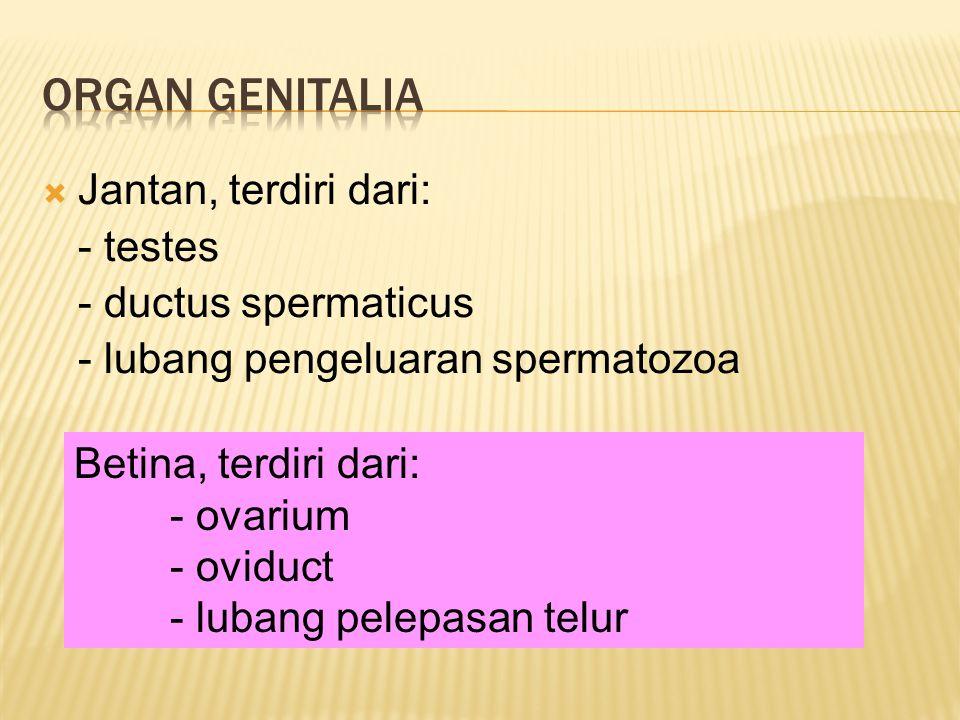  Jantan, terdiri dari: - testes - ductus spermaticus - lubang pengeluaran spermatozoa Betina, terdiri dari: - ovarium - oviduct - lubang pelepasan telur