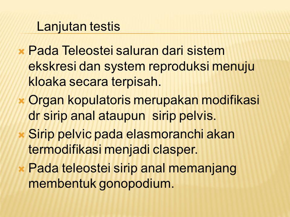  Pada Teleostei saluran dari sistem ekskresi dan system reproduksi menuju kloaka secara terpisah.