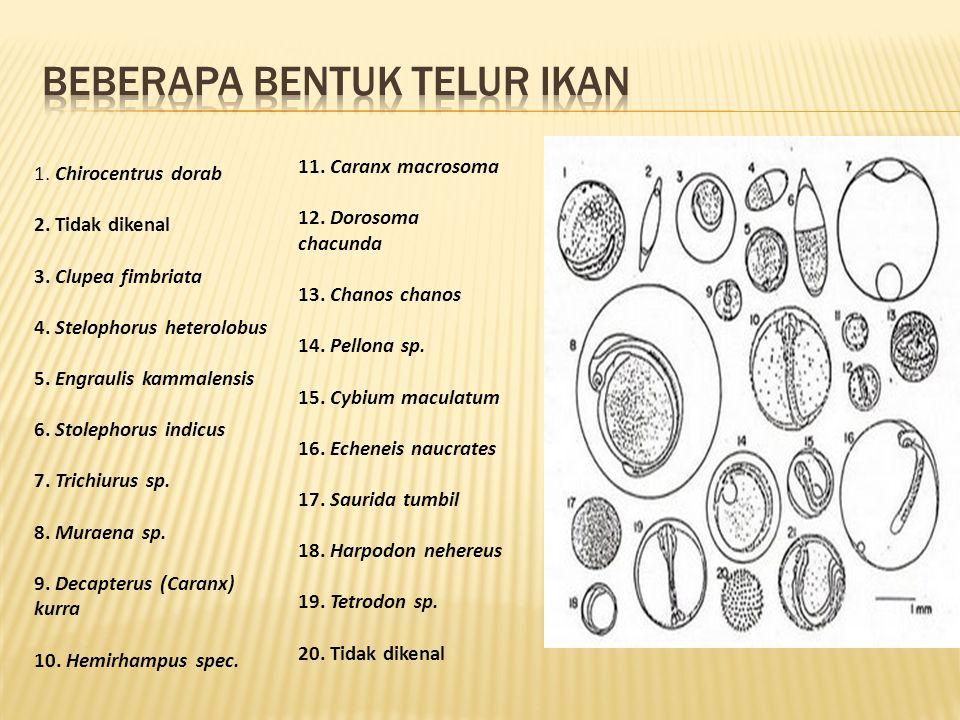 1.Chirocentrus dorab 2. Tidak dikenal 3. Clupea fimbriata 4.