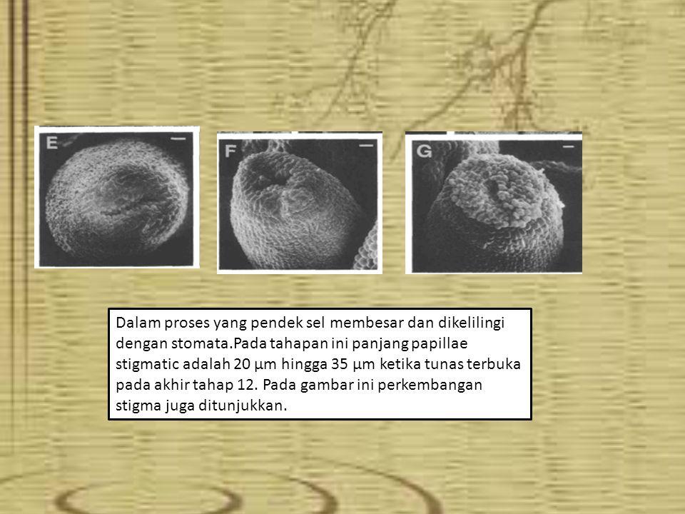 (Gambar A)Bagian tepi distal dari sepal dewasa dibatasi oleh sel epidermis kecil yang berwarna hijau pucat pada tumbuhan yang hidup.
