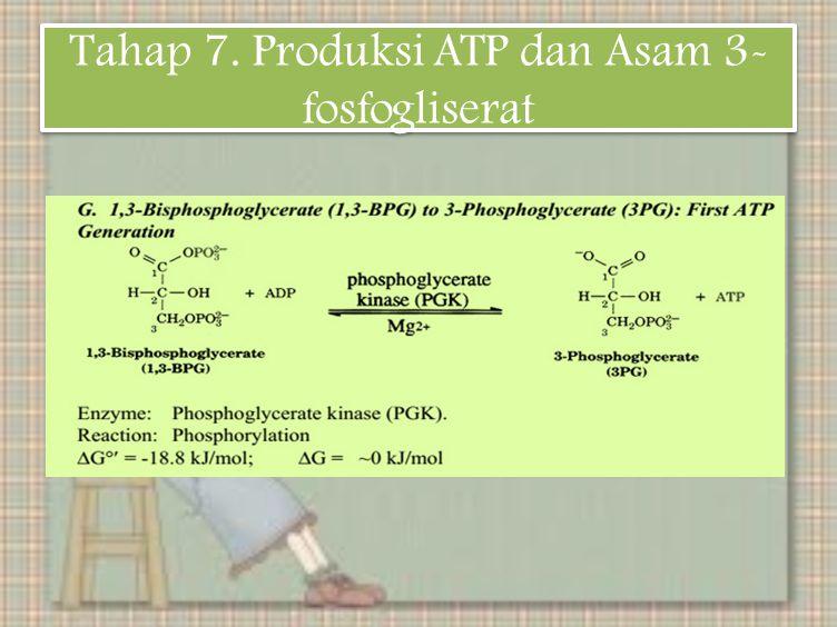 Tahap 7. Produksi ATP dan Asam 3- fosfogliserat