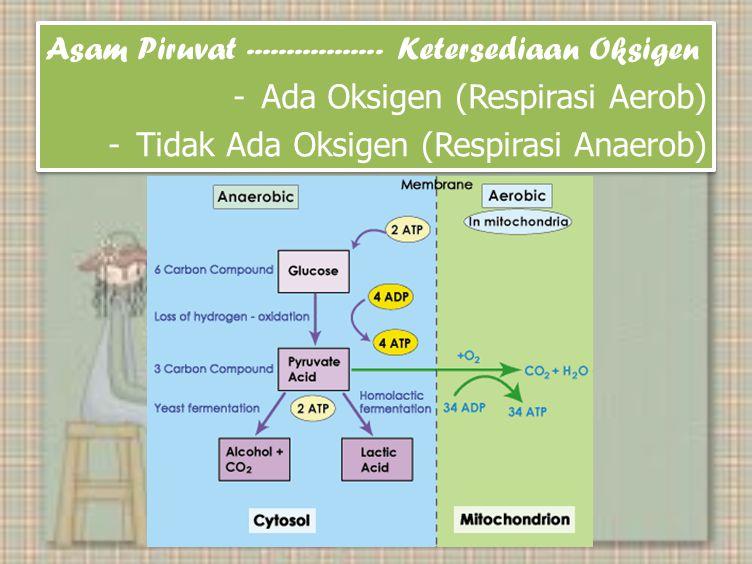 Asam Piruvat ----------------- Ketersediaan Oksigen -Ada Oksigen (Respirasi Aerob) -Tidak Ada Oksigen (Respirasi Anaerob) Asam Piruvat ----------------- Ketersediaan Oksigen -Ada Oksigen (Respirasi Aerob) -Tidak Ada Oksigen (Respirasi Anaerob)