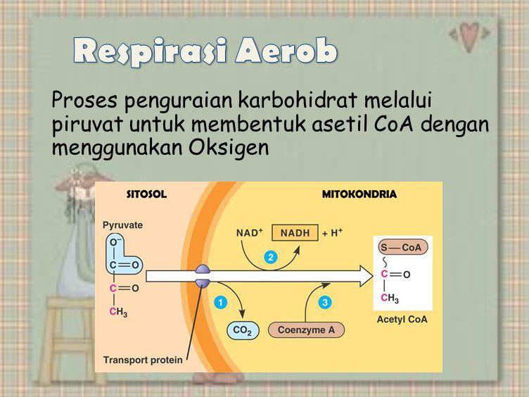 Proses penguraian karbohidrat melalui piruvat untuk membentuk asetil CoA dengan menggunakan Oksigen