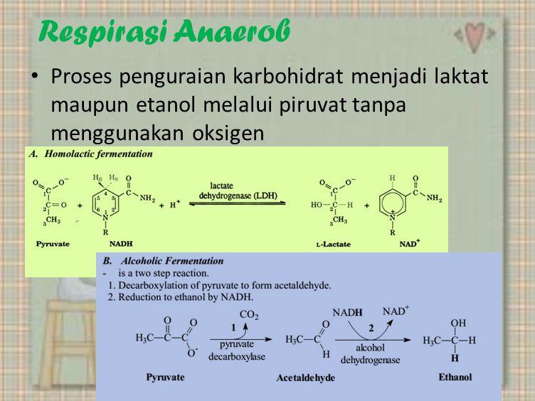 Respirasi Anaerob Proses penguraian karbohidrat menjadi laktat maupun etanol melalui piruvat tanpa menggunakan oksigen